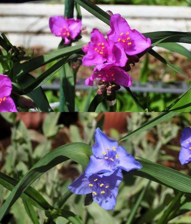 CIMG3065紫露草.jpg